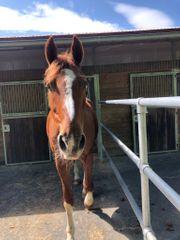 Suche Pflegebeteiligung Pferd sucht Pferdeliebhaber