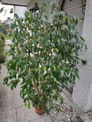 Ficus benjaminus