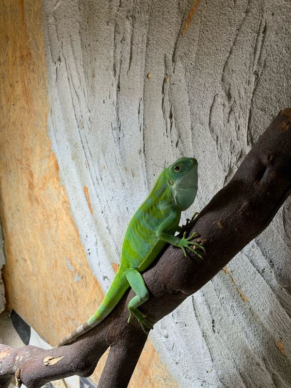 Fidschi Leguane