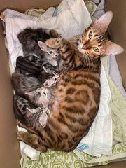 Bengal Kitten Silver Sepia reinrassig