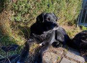 Champagn Verschmuster Labrador Mix