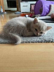 BKH Fold Kitten
