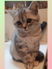 BKH-Kitten mit Stammbaum Abgabebereit