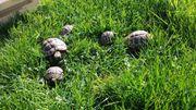 3 griechische Landschildkröten Testudo hermanni