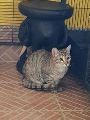 Tigerkatzen-Pärchen sucht Zuhause