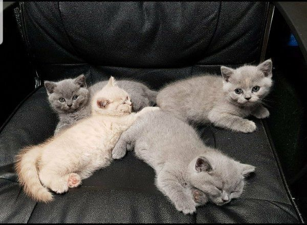 Reinrassige BKH-Kitten nur 2 mädchen
