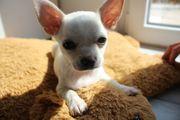 Reinrassiger Weißer Chihuahua Welpe