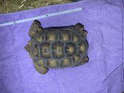 Geochelone Sulcata Spornschildkröte