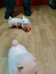 Süßer Pomeranian Zwergspitz welpen