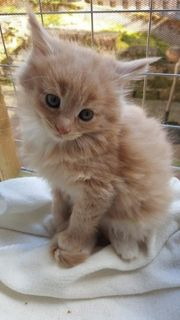 Maine Coon Kitten Mädchen zu