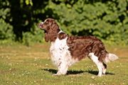 English Springer Spaniel Welpen