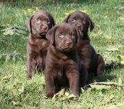 Labrador- Appenzeller-Mix Welpen