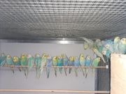 Rainbow Wellensittiche Nestjung Zuchtreife