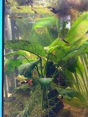 Kleines Aquarium mit 60 Guppies