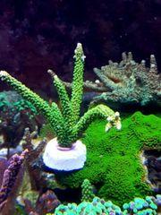 Meerwasser korallen Ablegern