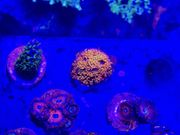 Goniopora sp Rainbow - Meerwasser Koralle