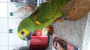 Super zahme Papageien blaustirnamazonen handaufzucht