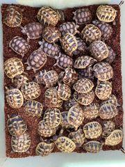Griechische Landschildkröten und Breitrandschildkröten zu
