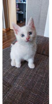 Kitten Ragdoll Mix Abholbereit