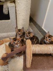Bengalische 2 Monate alte Babykatzen