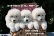 Top AKC TCup Pomeranian Welpen