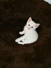 Maine coon bkh Mix kitten