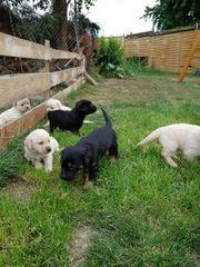 Labrador Mix Welpen ab 06