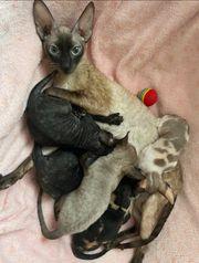 Cornish Rex Babys mit Stammbaum