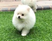 Pomeranian spitzwelpen