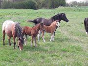 Deutsches Classic Pony