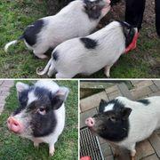 2 süße Minischweine abzugeben