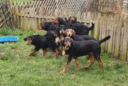 Bloodhound x Australian Shepherd Mix