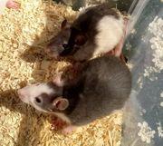 Rattenbabys verschiedene Farben wie auf