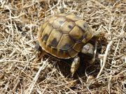 Griechische Landschildkröten - Testudo hermanni 2
