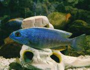 Azurcichlide Sciaenochromis ahli - Männchen
