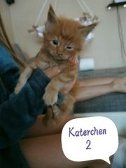 2 Reinrassige MaineCoon Kater red