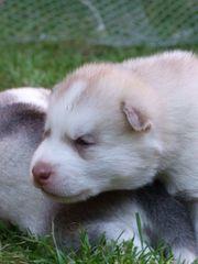 Siberian Huskywelpen