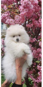 mini Pomeranian spitz
