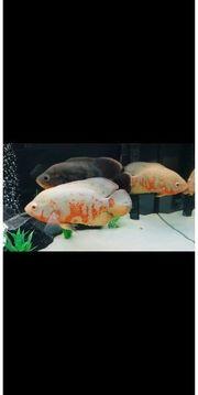 Aquarium mit Cichlidae Pfauenaugenbuntbarsch roter