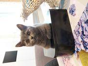 Haus Katze bkh kitten