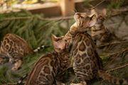 Reinrassige Bengal-Kätzchen mit Stammbaum