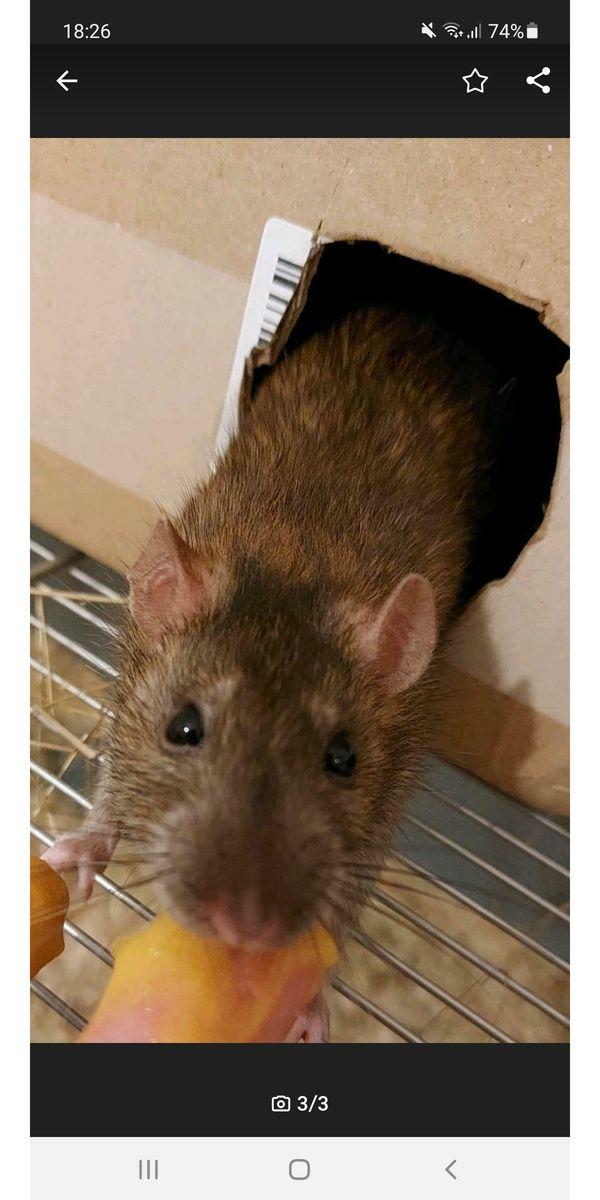 3 handzahme Ratten abzugeben