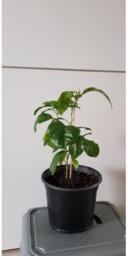 Zitronenpflanze Mini-Bäumchen