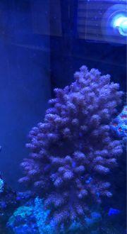 Keniabäumchen Ableger Korallen Meerwasser Weichkorallen