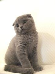 BKH Kitten scottisch fold