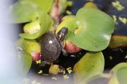Zierschildkröten Chrysemys picta marginata