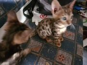 Maine Coon - Bengal Mix Kitten