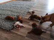 Rehpinscher - Chihuahua Welpen