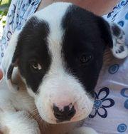 Bonnie schwarz-weißes Hundekind braucht ein