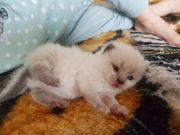 Reinrassige Bkh scottish fold Kitten